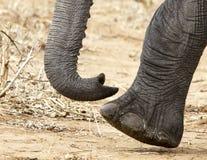 African Elephants (Loxodonta africana) Stock Images