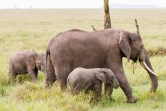 African elephants Loxodonta africana family in Serengeti National Park, Tanzania Royalty Free Stock Images