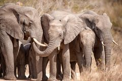 African Elephants (Loxodonta africana) Stock Photos