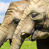 African elephants ( Loxodonta africana ) at Knowsley Safari Park Stock Photo