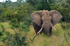 African bush elephants (Loxodonta africana) Royalty Free Stock Image