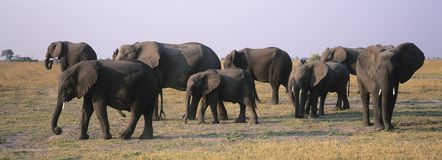 African Elephants (Loxodonta Africana) on savannah stock image