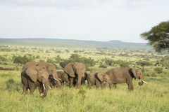 African Elephants (Loxodonta africana) in Tanzania. African Elephants (Loxodonta africana) in Tarangire National Park in Tanzania Royalty Free Stock Photos