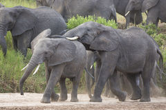 African Elephants (Loxodonta africana) in Tanzania. African Elephants (Loxodonta africana) in Tarangire National Park in Tanzania Royalty Free Stock Photo