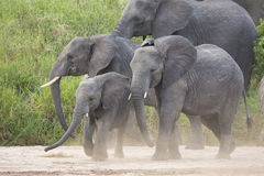 African Elephants (Loxodonta africana) in Tanzania. African Elephants (Loxodonta africana) in Tarangire National Park in Tanzania Royalty Free Stock Photography