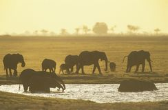 African Elephants (Loxodonta Africana) at waterhole Stock Photography
