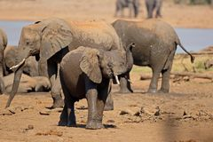 African elephants at a waterhole Stock Photos