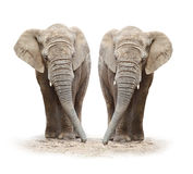 African elephants (Loxodonta africana). On a white background royalty free stock photo