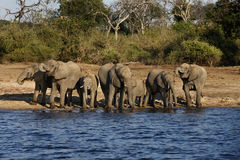 African Elephants (Loxodonta africanus) - Botswana. Group of African Elephants (Loxodonta africanus) drinking at the Chobe River in Botswana stock photos