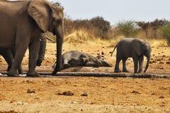 African elephants lying, Loxodon africana, Etosha, Namibia Stock Photos