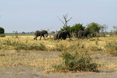African Elephants Marching on the Plains Stock Image