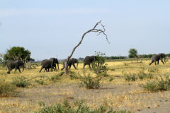 African Elephants on the Plains Stock Image