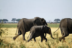 African Elephants Marching on the Plains Royalty Free Stock Images