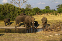 African Elephant Herd Drinking in the Okovango. The African Bush elephant is the largest of the two sub-species of African elephant Stock Photography