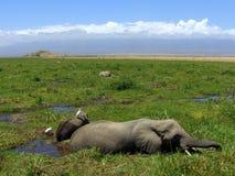 African Elephants in Marshlands Stock Photography