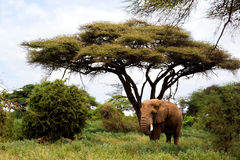 African elephants in Masai Mara. Stock Image
