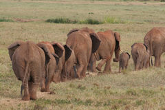 African Elephants on the Move. Herd of African Elephants walking in line Stock Image