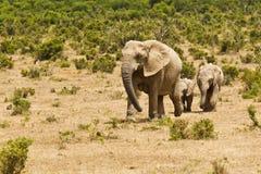 African elephants moving through short vegetation stock photo