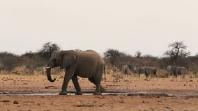 African elephants at a muddy waterhole stock video