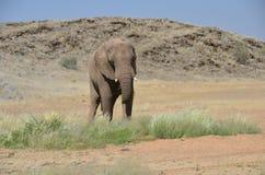 African elephants, Namibia Stock Image