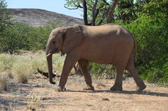 African elephants, Namibia Royalty Free Stock Photography