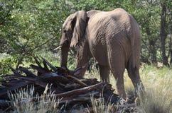African elephants, Namibia Stock Photo