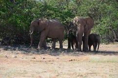 African elephants, Namibia Royalty Free Stock Photo