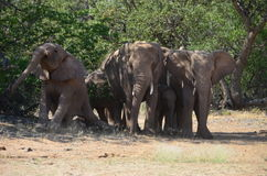 African elephants, Namibia Stock Photography