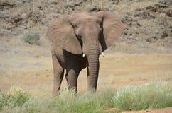 African elephants, Namibia Stock Photos