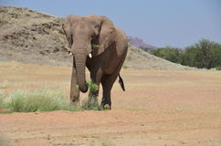 African elephants, Namibia Royalty Free Stock Images