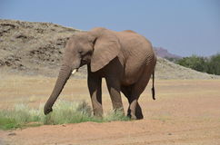 African elephants, Namibia Stock Images