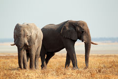 African elephants on open plains Royalty Free Stock Photo