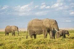 African Elephants on pasture. Group of African bush elephants  (Loxodonta africana) in Amboseli National park, Kenya Stock Image