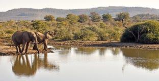 African elephants Royalty Free Stock Photo