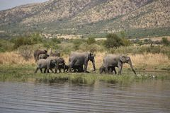 African elephants at Pilanesberg Royalty Free Stock Photo