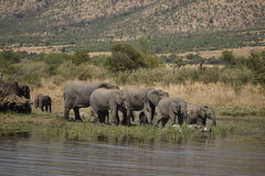 African elephants at Pilanesberg Stock Image