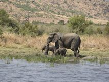 African elephants at Pilanesberg Royalty Free Stock Photos