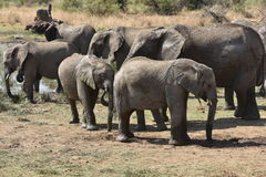 African elephants at Pilanesberg Stock Images
