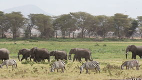 African elephants and plains zebras Stock Images