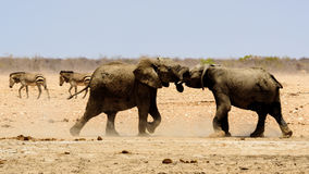 African elephants play fighting Royalty Free Stock Image