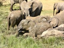 African elephants playing in muddy water Royalty Free Stock Images
