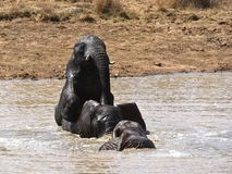 African elephants playing in water Royalty Free Stock Images