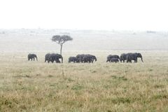 African elephants in the rain Stock Photos