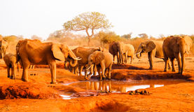 African Elephants in red savanna. Kenya Stock Photo