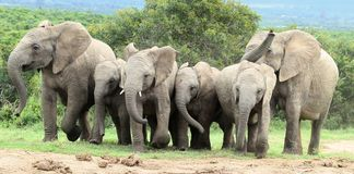 African Elephants Running Royalty Free Stock Photography