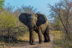 African elephants on a safari through South Africa in the Kruger National Park royalty free stock images