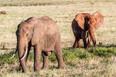African Elephants in the savana Royalty Free Stock Image