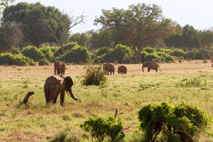 African Elephants in the savana landscape Royalty Free Stock Image