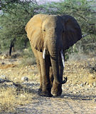 African elephants in the savannah Stock Photo