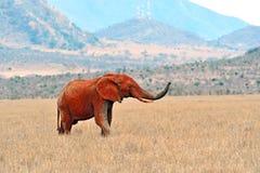 African elephants in the savannah Stock Photos